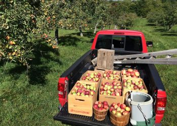 Little Apple Cider Apples in truck
